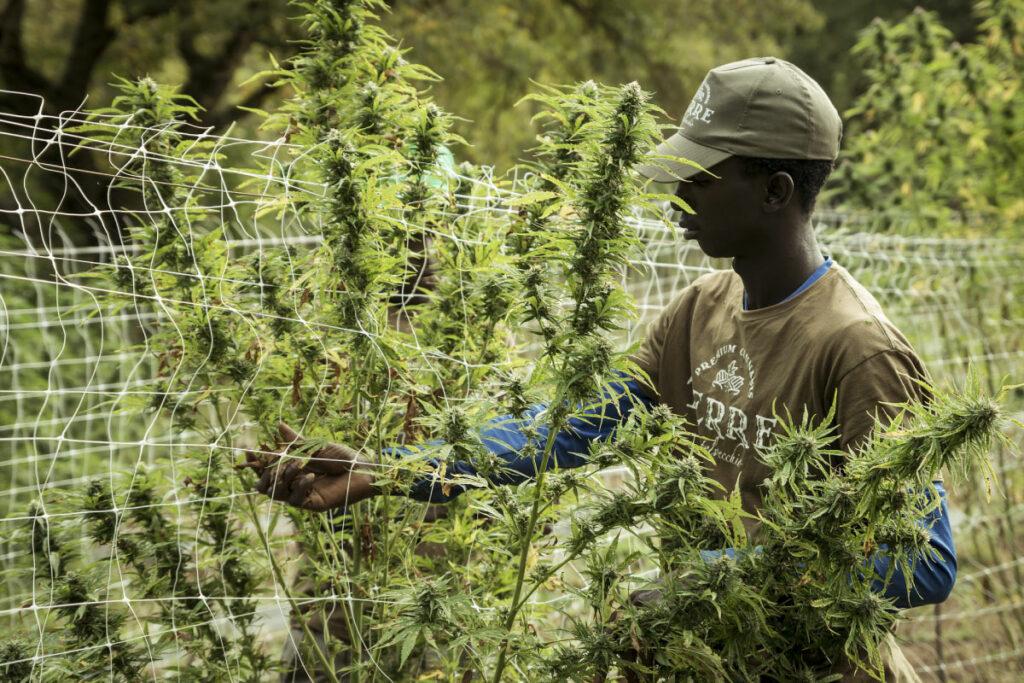 Medical Marijuana in the Caribbean - Relocate Antigua