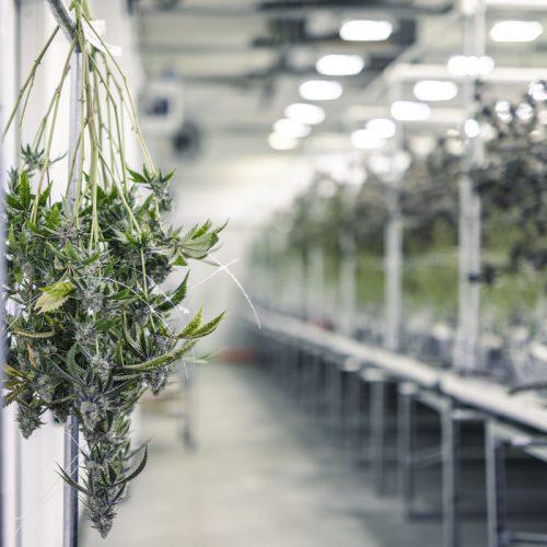 cannabis-investment-antigua-barbuda